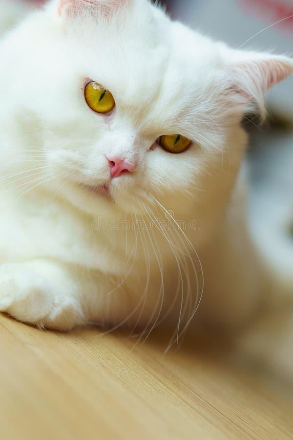 Vit fluffig katt som ser lynnig och borttappad i tanke arkivbilder