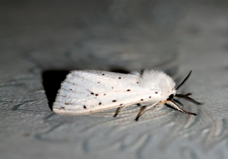 Vit fluffig mal Makro för krypflygfjäril arkivfoton