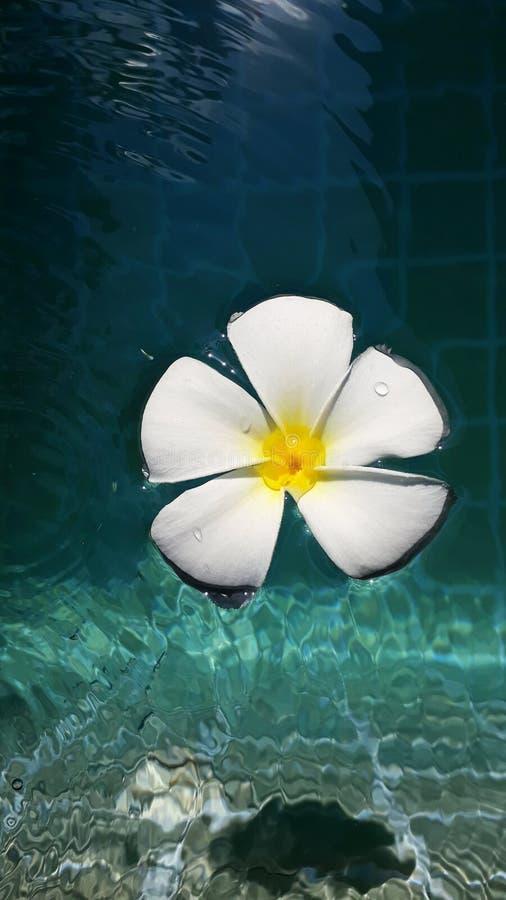 Vit frangipani i swimmingpool fotografering för bildbyråer