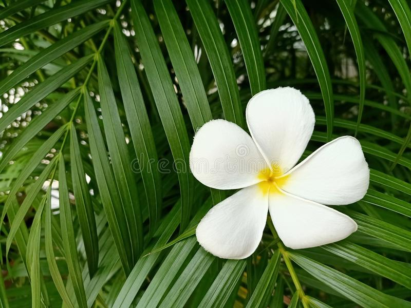 Vit frangipaniblomma p? gr?n bladbakgrund royaltyfria bilder
