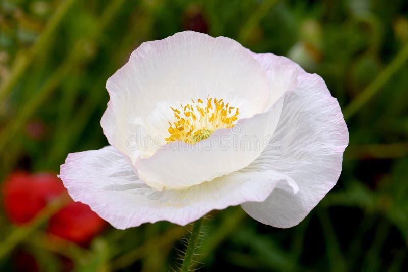 Vit fred Flanders Poppy Flower arkivbilder