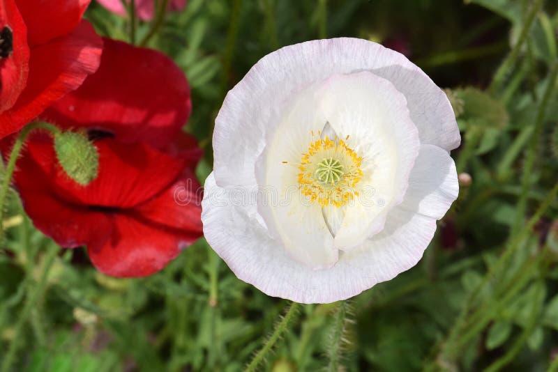Vit fred Poppy Mandala 01 fotografering för bildbyråer