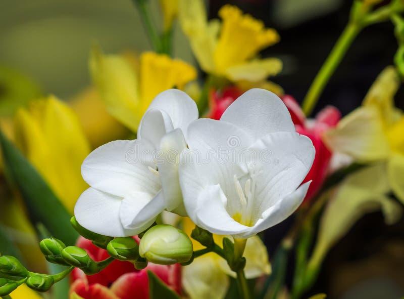Vit freesia blommar, stänger sig upp, gul vegetal bakgrund fotografering för bildbyråer