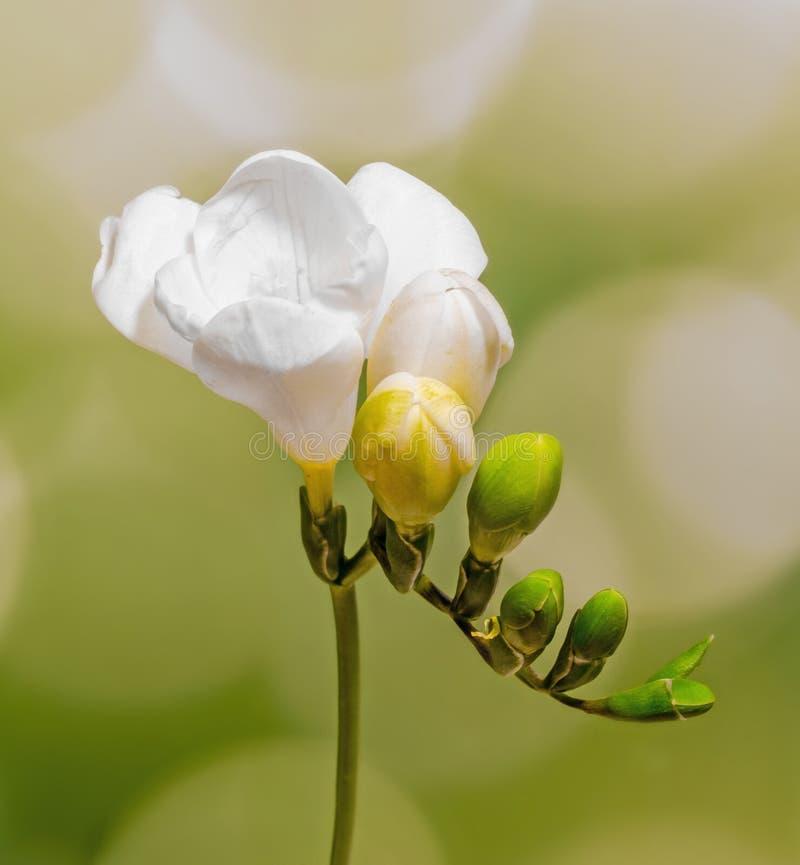 Vit freesia blommar, stänger sig upp, gula vita freesiablommor, slut upp, grön bokehbakgrund royaltyfri bild