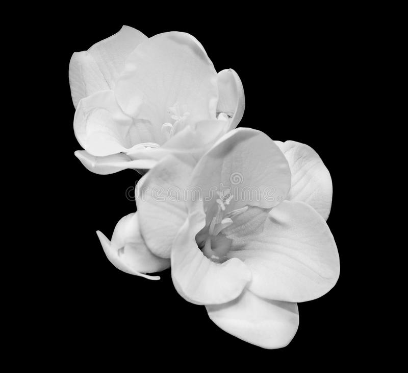 Vit freesia blommar, stänger sig upp, svart bakgrund arkivfoton