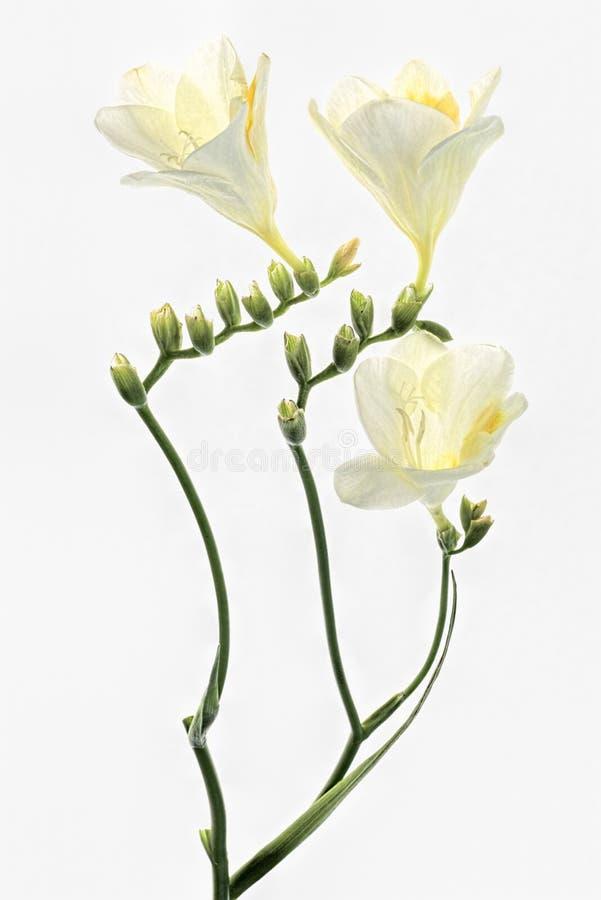 Vit freesia på vit fotografering för bildbyråer