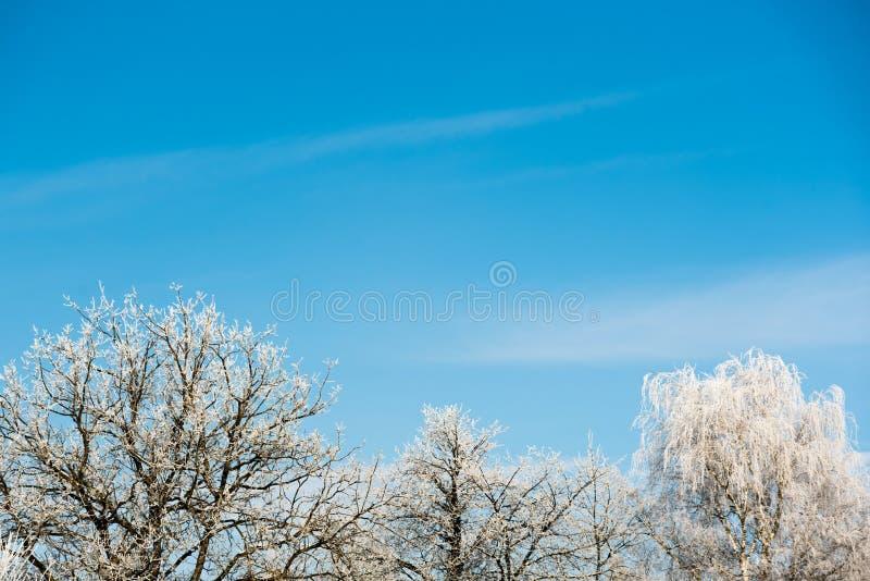 Vit frost på trädfilialer på bakgrund för blå himmel i vinter djupfryst trees royaltyfria bilder