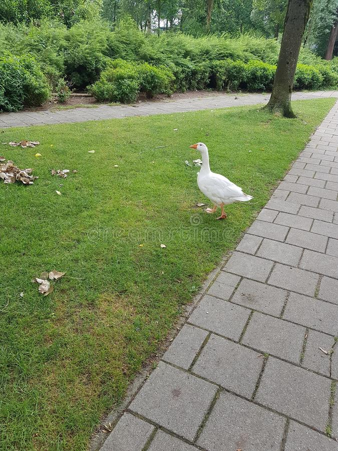 Vit gås eller and i gräset royaltyfria bilder