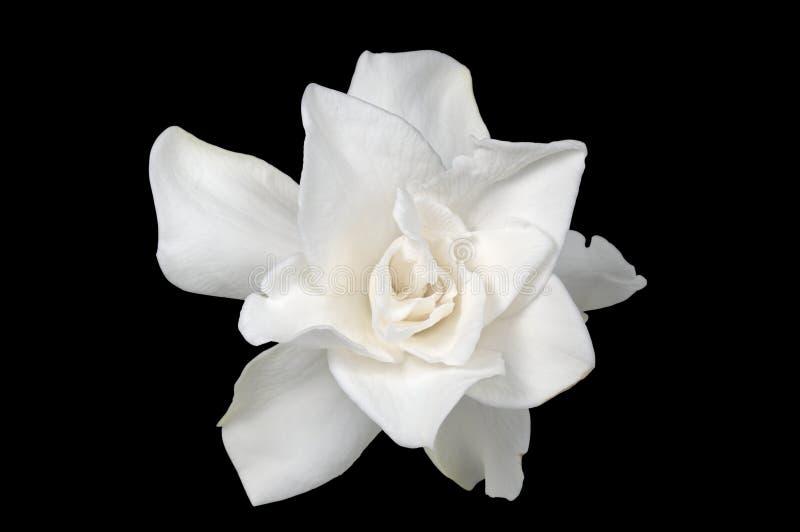 Vit gardenia royaltyfria foton