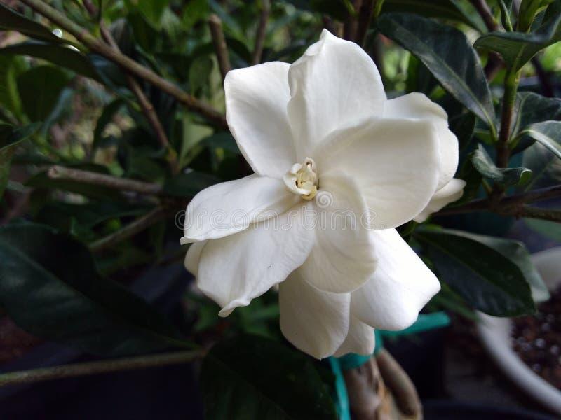 Vit gardenia i blom i kruka royaltyfria bilder