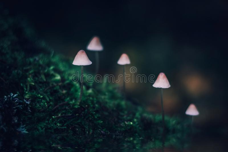 Vit giftig liten champinjonmycena på mörkt - grön bakgrund En grupp av champinjoner på en kulle som täckas med mossa Mycena filop fotografering för bildbyråer