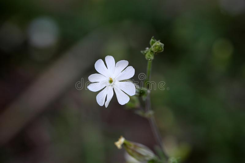 Vit glim (den Silene latifoliaen) royaltyfri fotografi