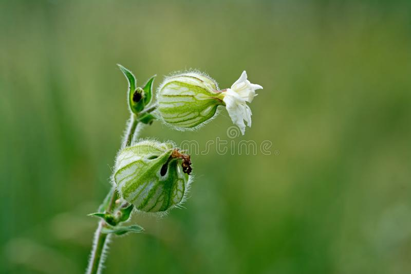 Vit glim, Silene latifolia eller Melandrium album arkivfoton