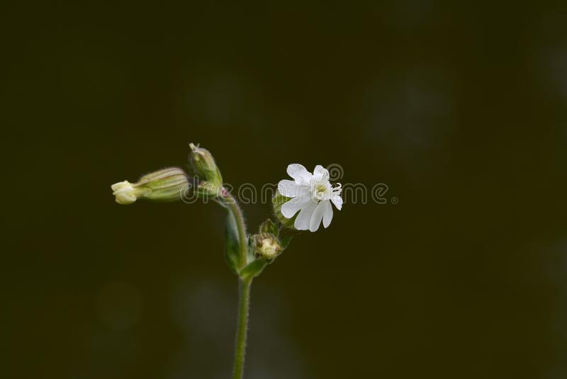 Vit glim, Silene latifolia eller Melandrium album royaltyfria bilder