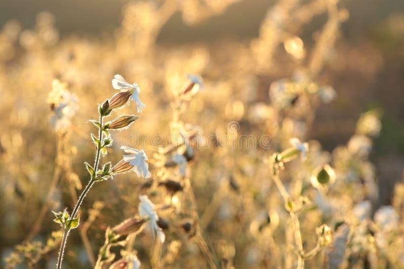 Vit glim - Silene latifolia på soluppgång royaltyfri fotografi