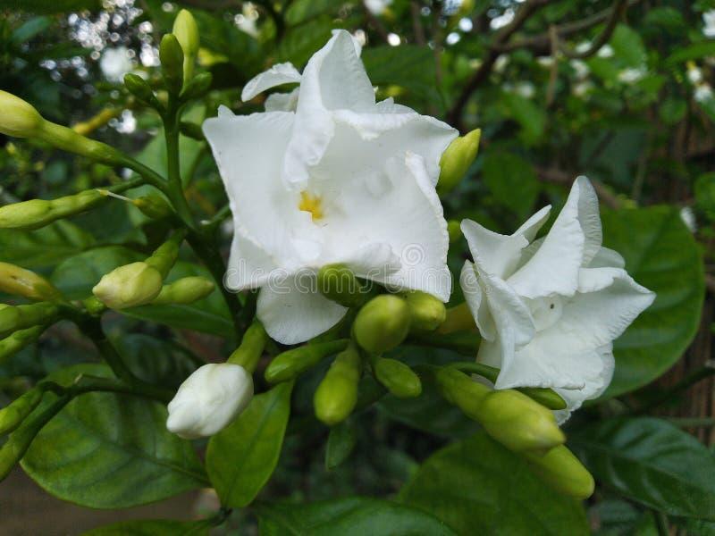 Vit gräsplan för skönhet för jasminblommaknoppar naturlig fotografering för bildbyråer