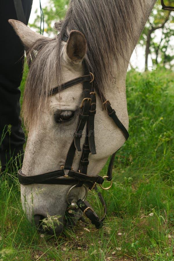 Vit grå häst som betar på det gröna gräset i skogen, häst som exploateras i läderselet, stående royaltyfri foto
