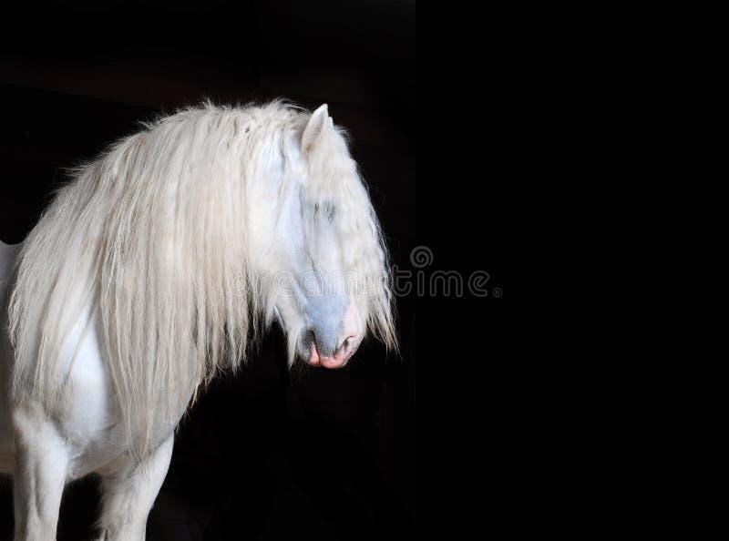 Vit grevskaphäst med svart bakgrund arkivfoto