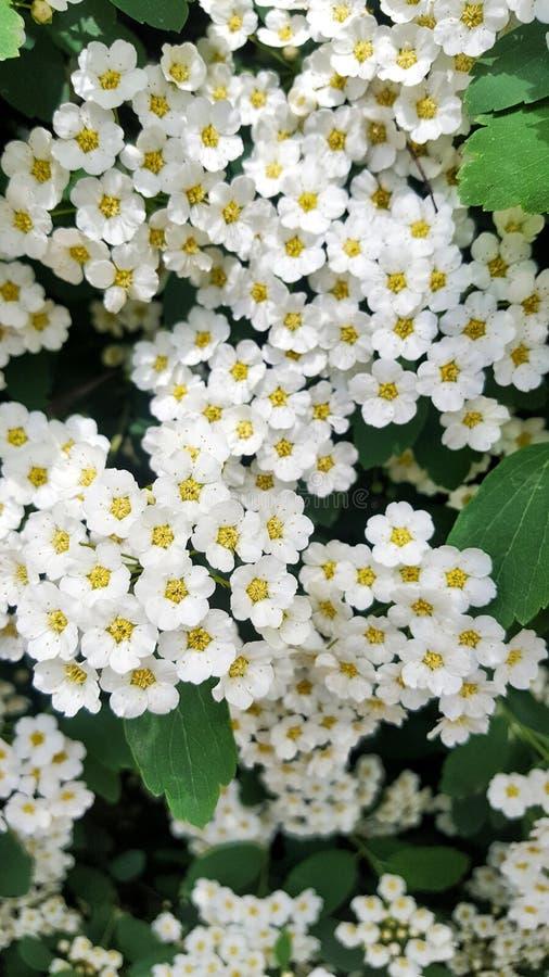 Vit grupp av blommor royaltyfri foto