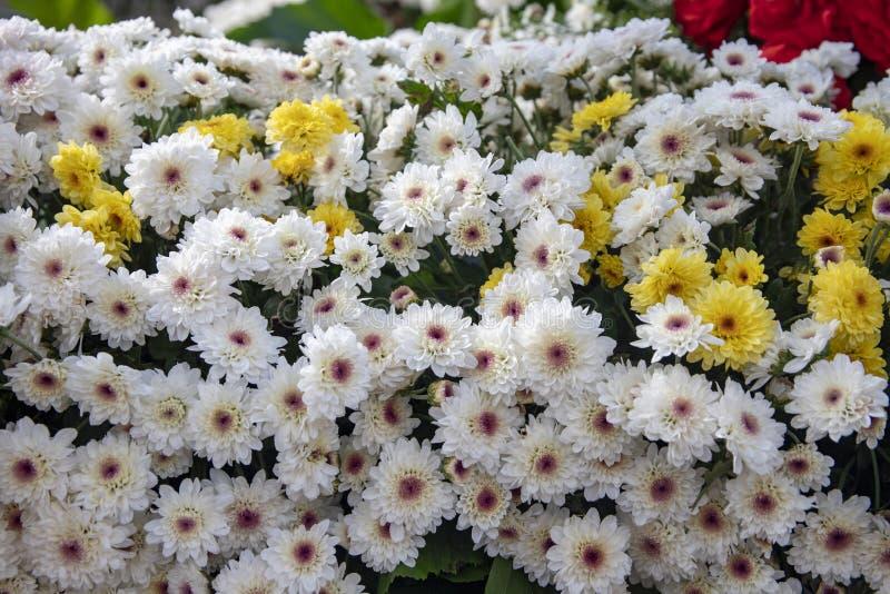 Vit gul tusenskönacloseup Blom- texturfoto för vår Enkla blommor i grönt blad Romantisk banermall arkivbilder