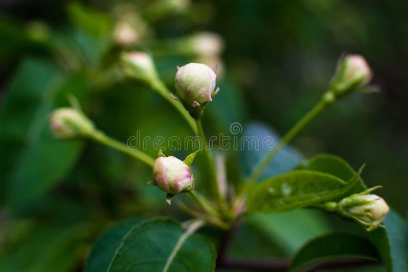 Vit-guling blommor p? kalt tr?d f?r stillhet ett fullst?ndigt, gr?na sidor har precis startat att blomma royaltyfri foto