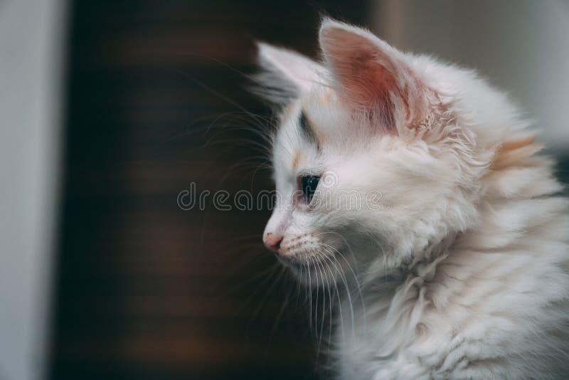 Vit gullig kattunge som stirrar på golvet royaltyfria foton