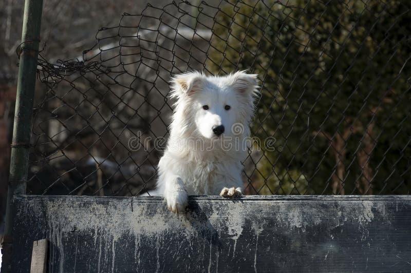 Vit gullig vakthund royaltyfri bild