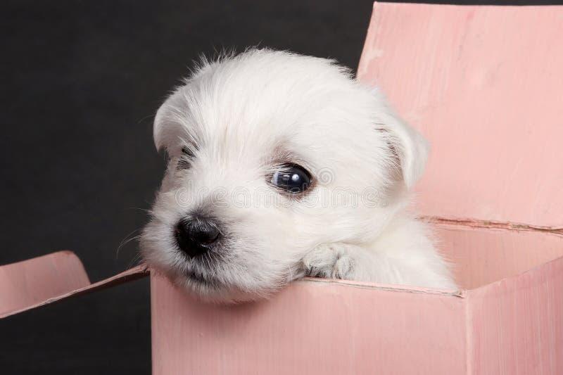 Vit gullig valphund västra höglands- Terrier i en rosa ask royaltyfria bilder