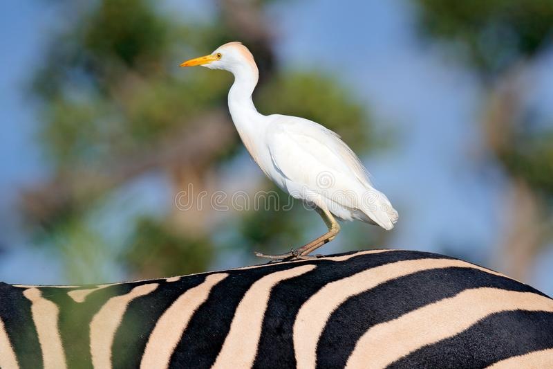 Vit häger på sebrabaksidan i den Okavango deltan, Moremi, Botswana nötkreaturägretthäger, Bubulcusibis, i naturlivsmiljö Rolig bi fotografering för bildbyråer