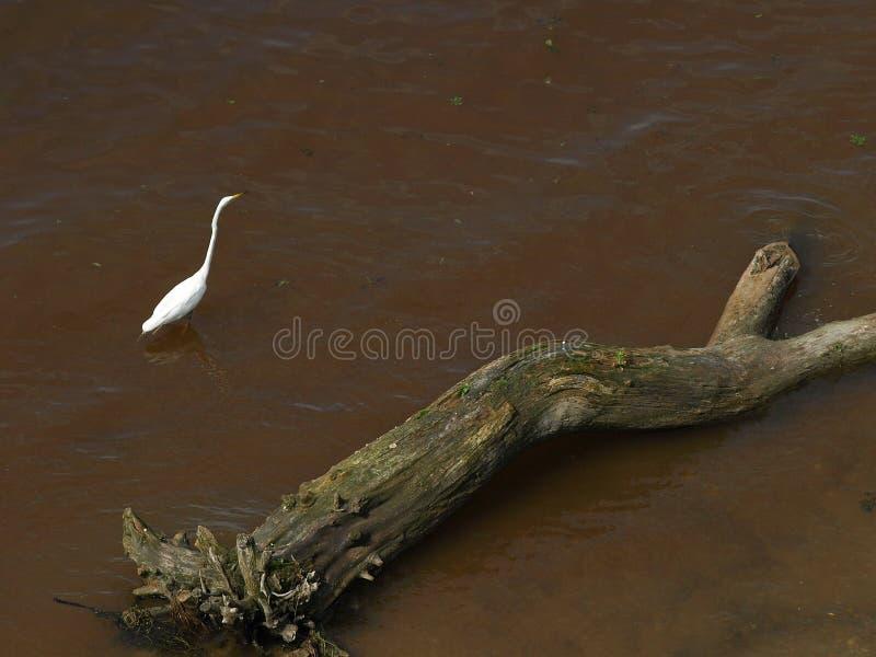 Vit hägerställning i vatten nära vid floden En inloggning vattnet och en häger royaltyfri foto