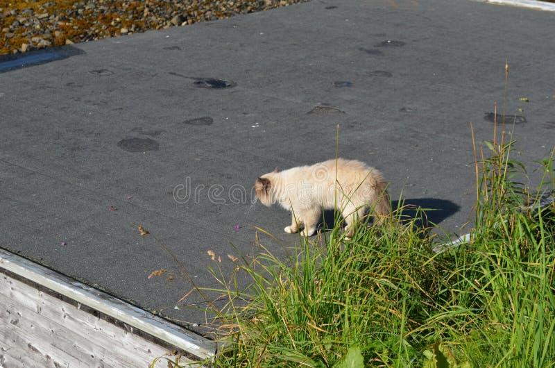 Vit härlig kattvandring på det svarta taket royaltyfria foton