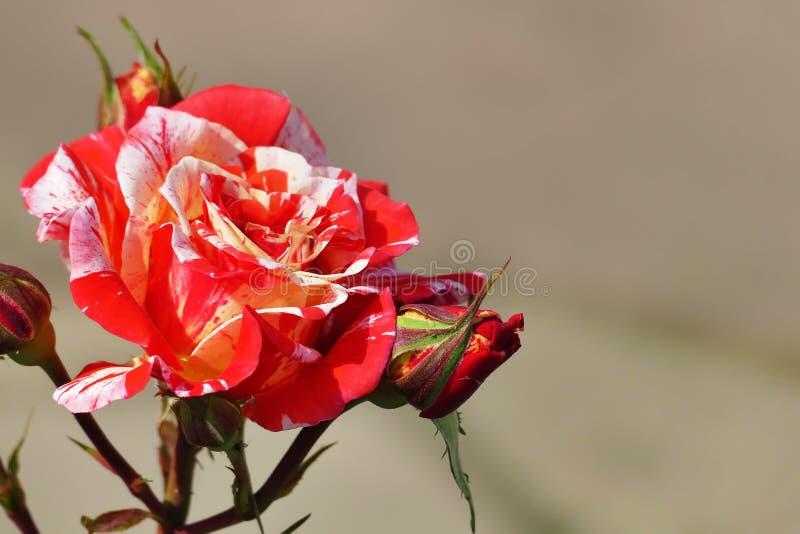 Vit härliga sällsynta svarta Dragon Hybrid Rose som är röd och arkivfoto