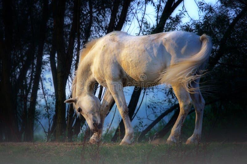 Vit häst royaltyfri fotografi
