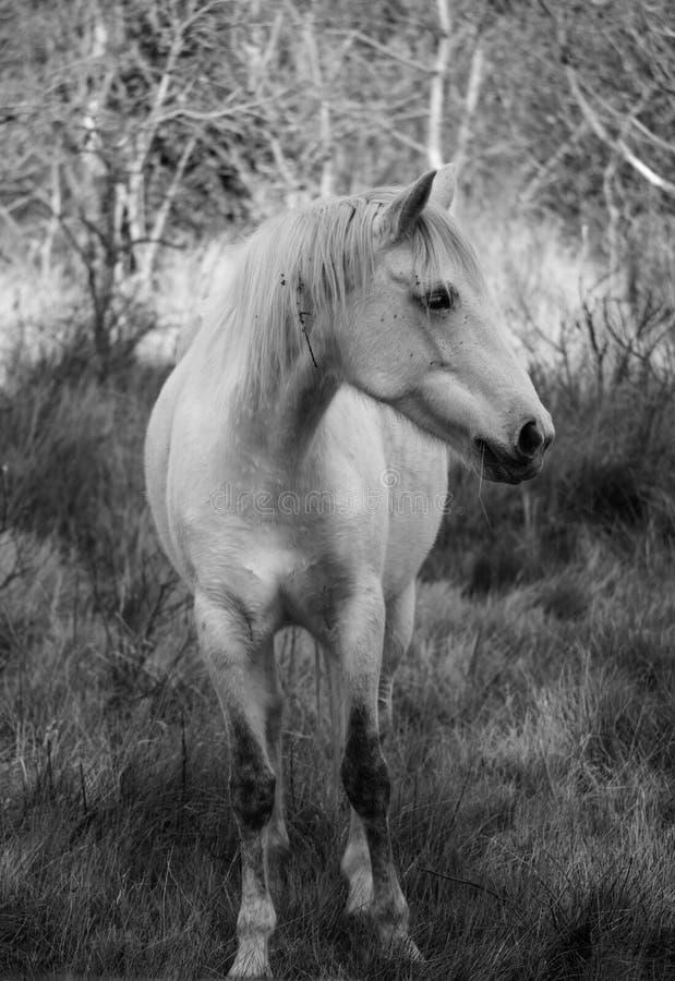Vit häst för saga på Camargue arkivbilder