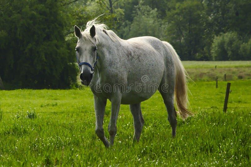 Vit häst i en äng arkivbild