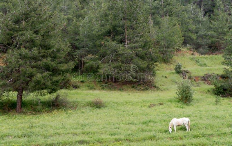 Vit häst i fältet royaltyfri foto