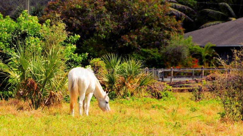 Vit häst i fältet, Florida royaltyfri fotografi
