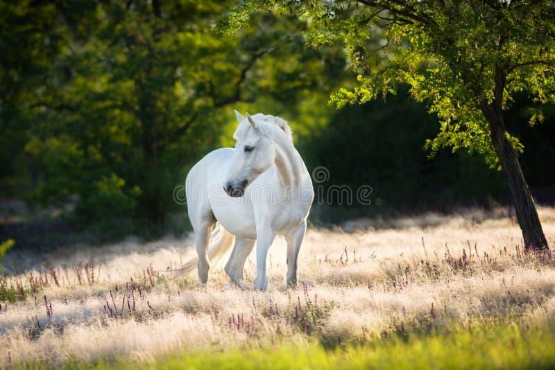 Vit häst i mattt gräs royaltyfri fotografi