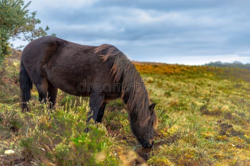 Vit häst in i nya Forrest United Kingdom royaltyfria bilder