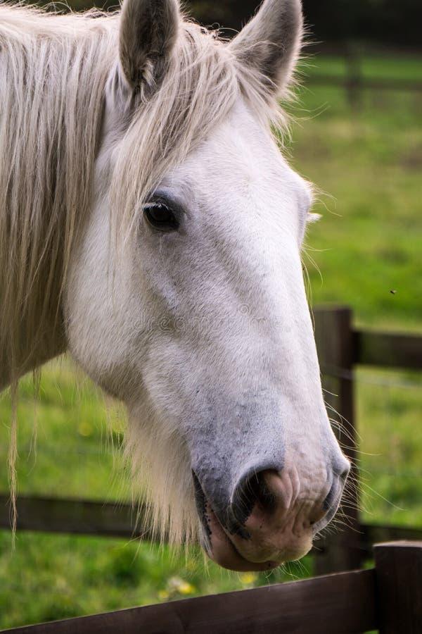 Vit häst i paddocken arkivbild