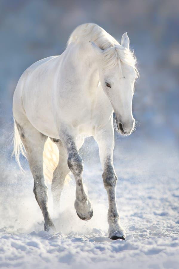 Vit häst i snö royaltyfria foton