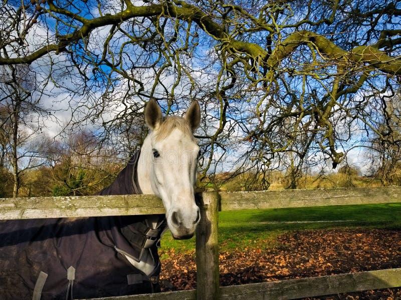 Vit häst i vinterinställning royaltyfri fotografi