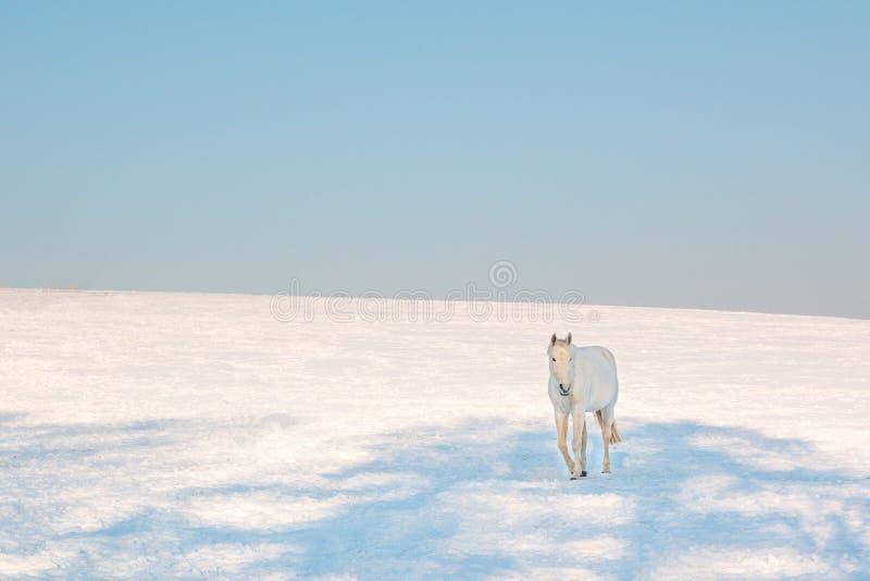 Vit häst i vintern royaltyfri bild