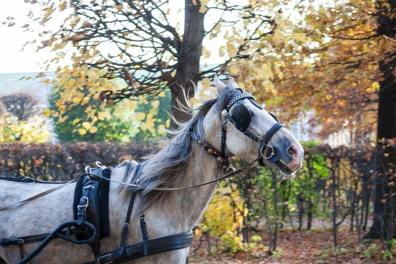 Vit häst med blinkers på hans ögon royaltyfri bild