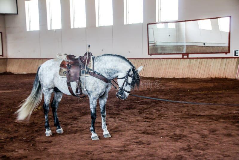 Vit häst på en lerig arena arkivbild