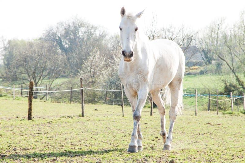 Vit häst på en ljusa Sunny Day i ett grönt fält royaltyfri bild