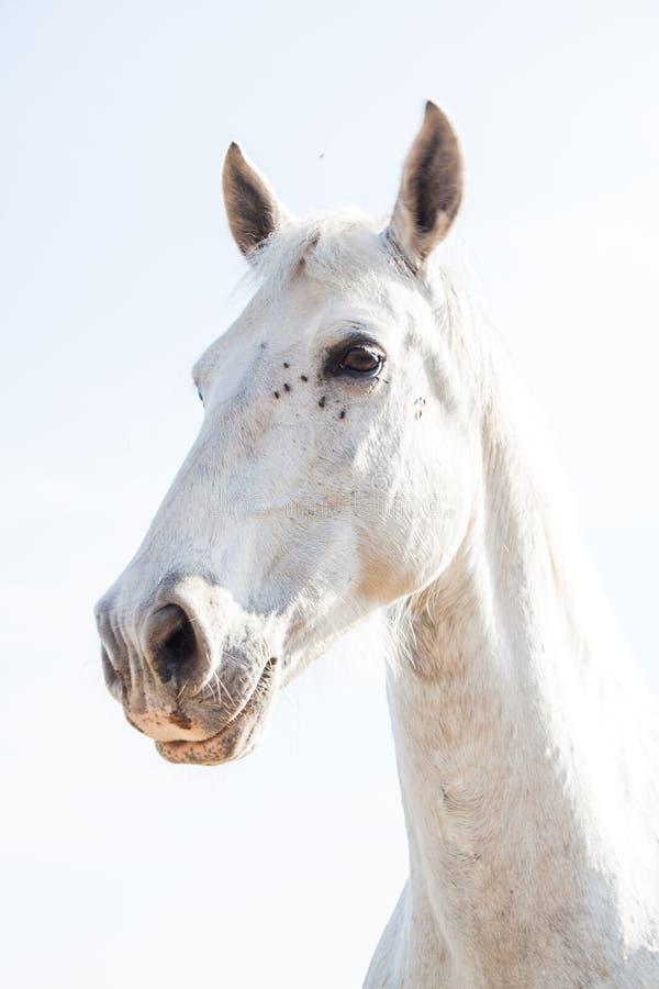 Vit häst på en ljusa Sunny Day med flugor runt om ögonen royaltyfria bilder