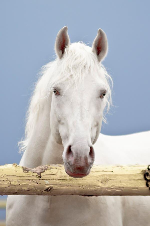 Vit häst på en mörk himmel royaltyfri foto
