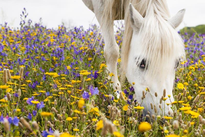Vit häst på ett fält arkivfoton