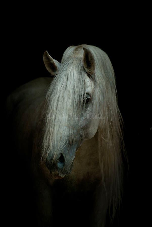 Vit häst på svart royaltyfri bild